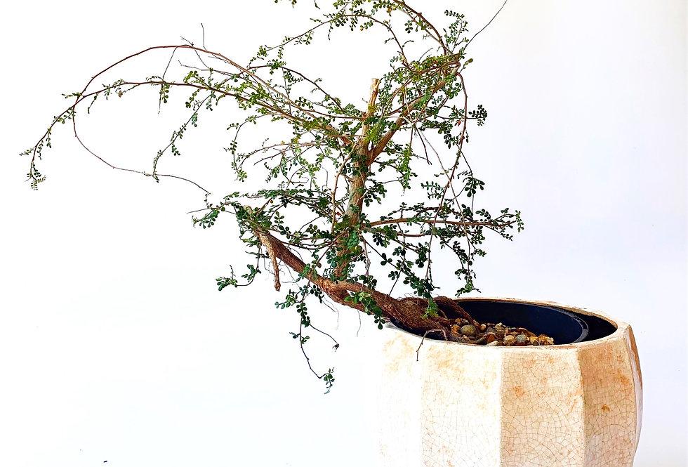 Medium Operculicarya decaryi *Very Rare*