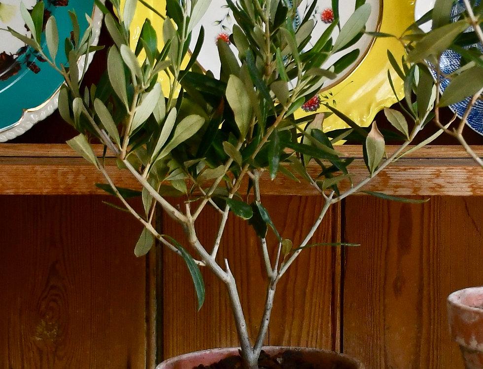Olea europaea Tree 9cm x 30cm