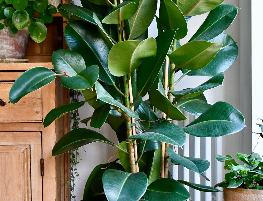 Rubber Plant - Ficus Elastica; Ficus Robusta, happy house plants, indoor plants for sale, easy care, seagrass planter