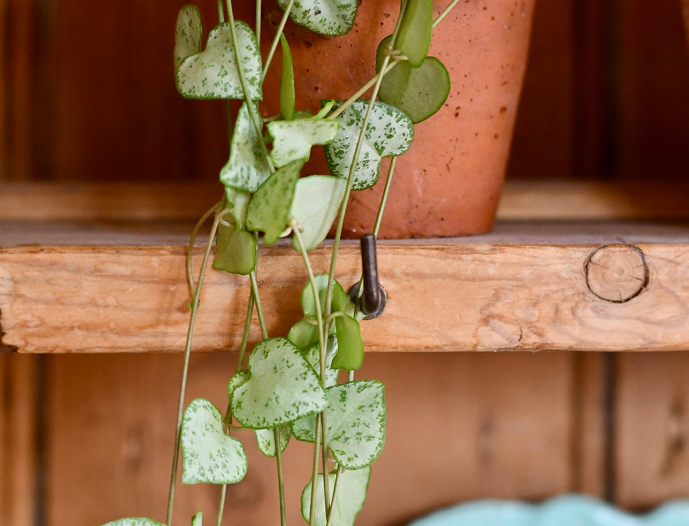Ceropegia woodii - String of Hearts