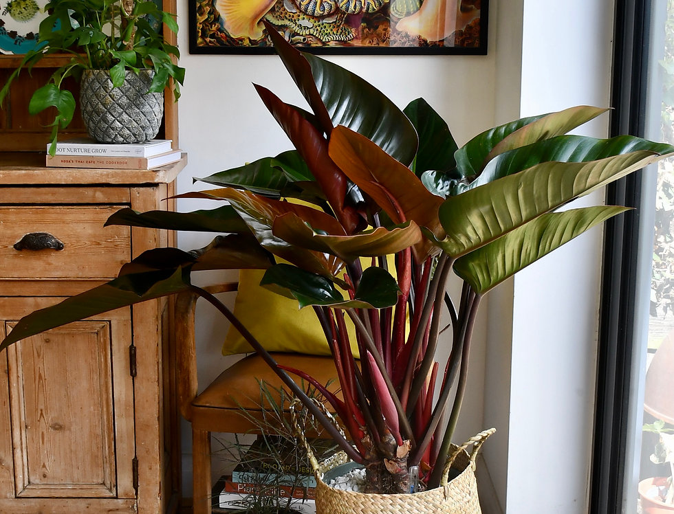 XL Philodendron Red Beauty