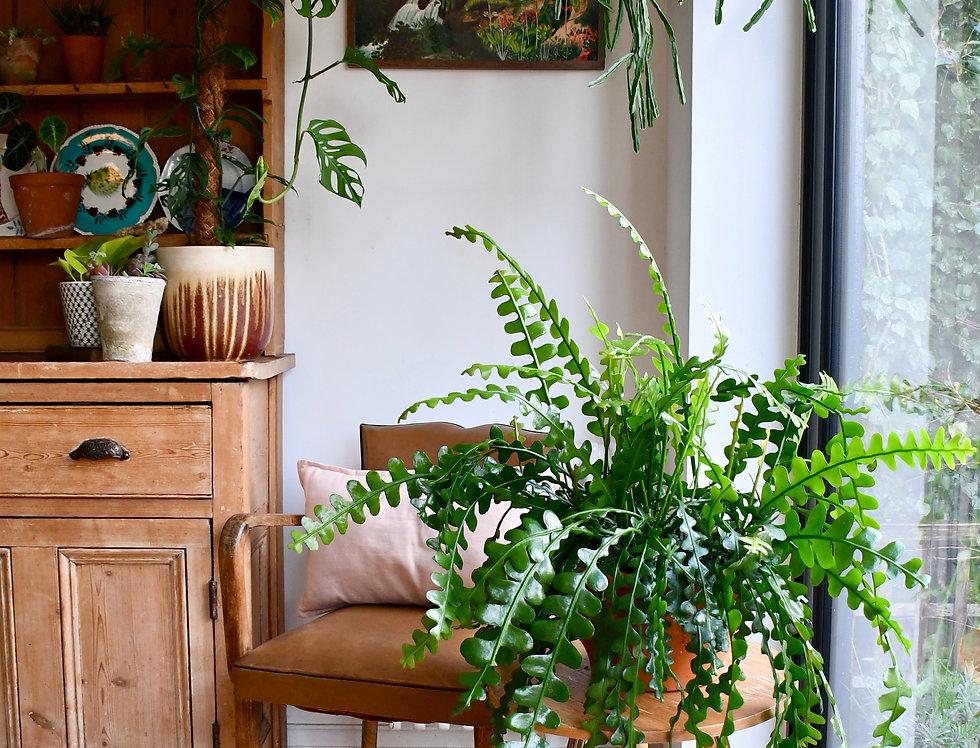 Epiphyllum Anguliger - Ric Rac 30cm x 60cm