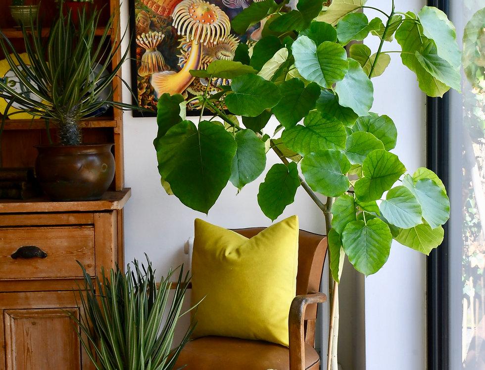 Ficus Umbellata Tree