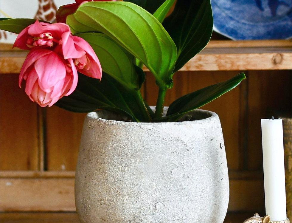 Medinilla Magnifica - Philippine Orchid