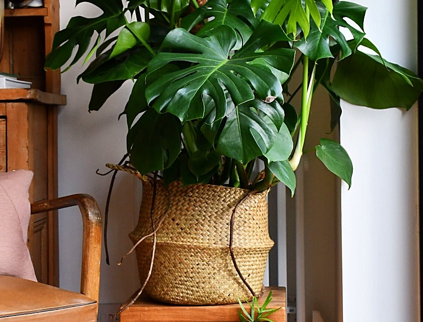 Extra Large Bush Form Montesera Deliciosa, happy house plants, indoor plants for sale, easy care, seagrass planter