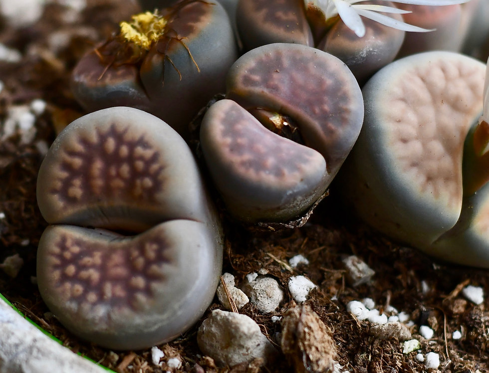 Lithops Fiorito - living stones, pebble plant