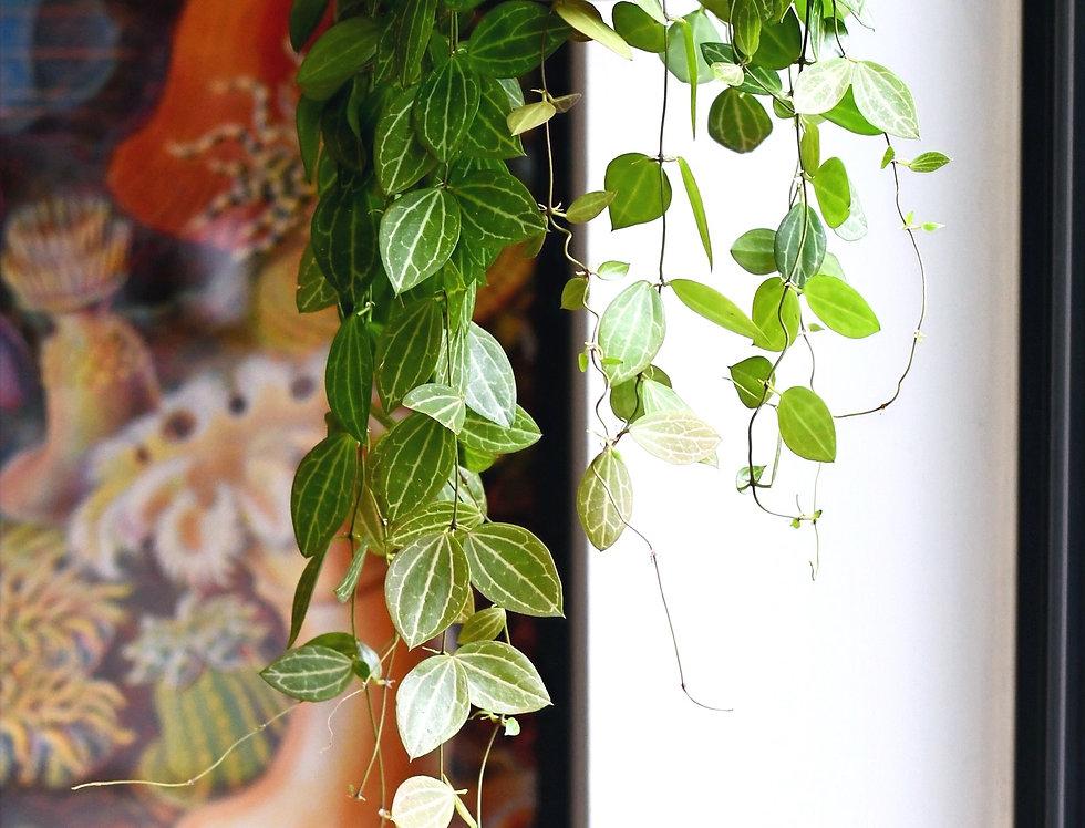 Dischidia Ovata - Watermelon Dischidia *large*