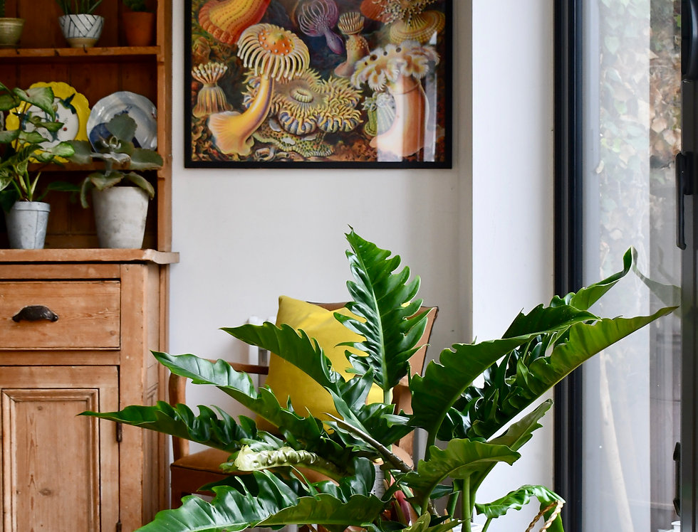 Philodendron Narrow *Weekend Special*