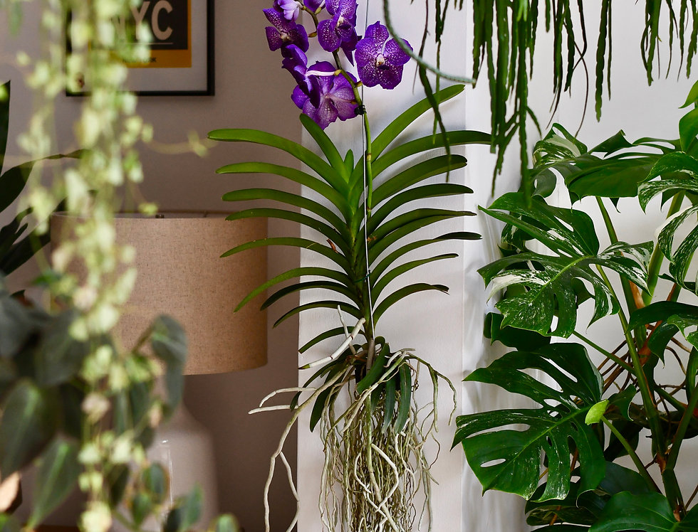 Vanda Orchids - Over One Metre Tall