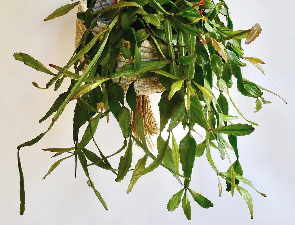Large Rhipsalis Elliptica