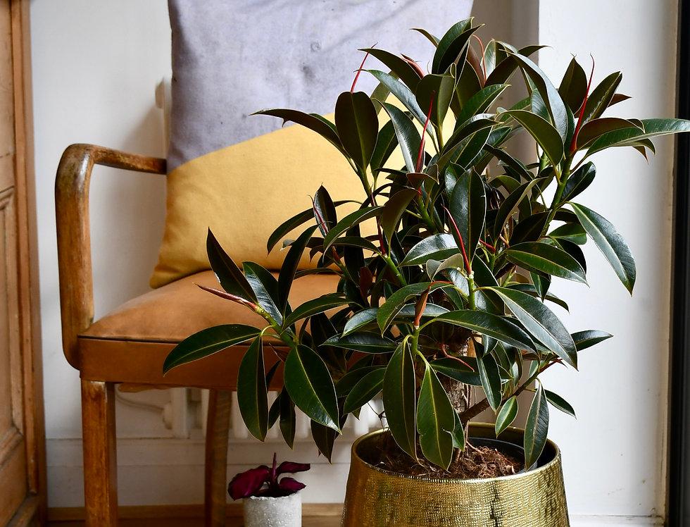 Ficus Melany Mangrove - Rubber plant