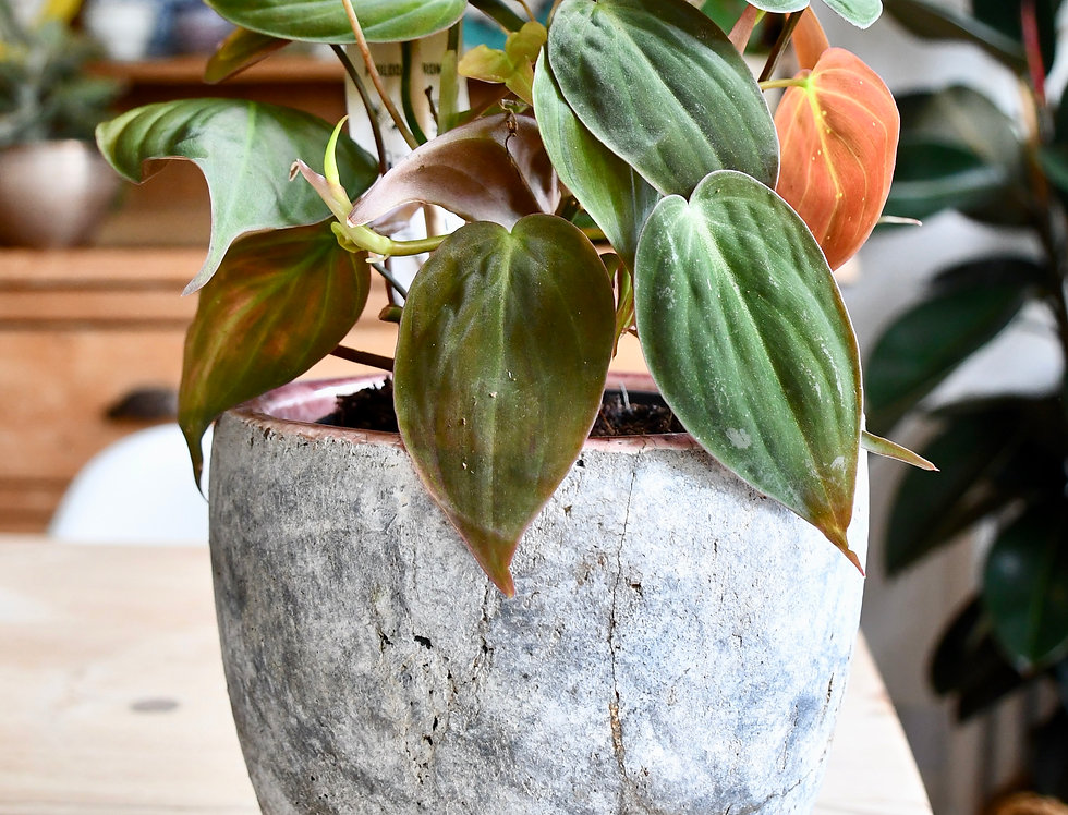 Philodendron micans 12cm pot