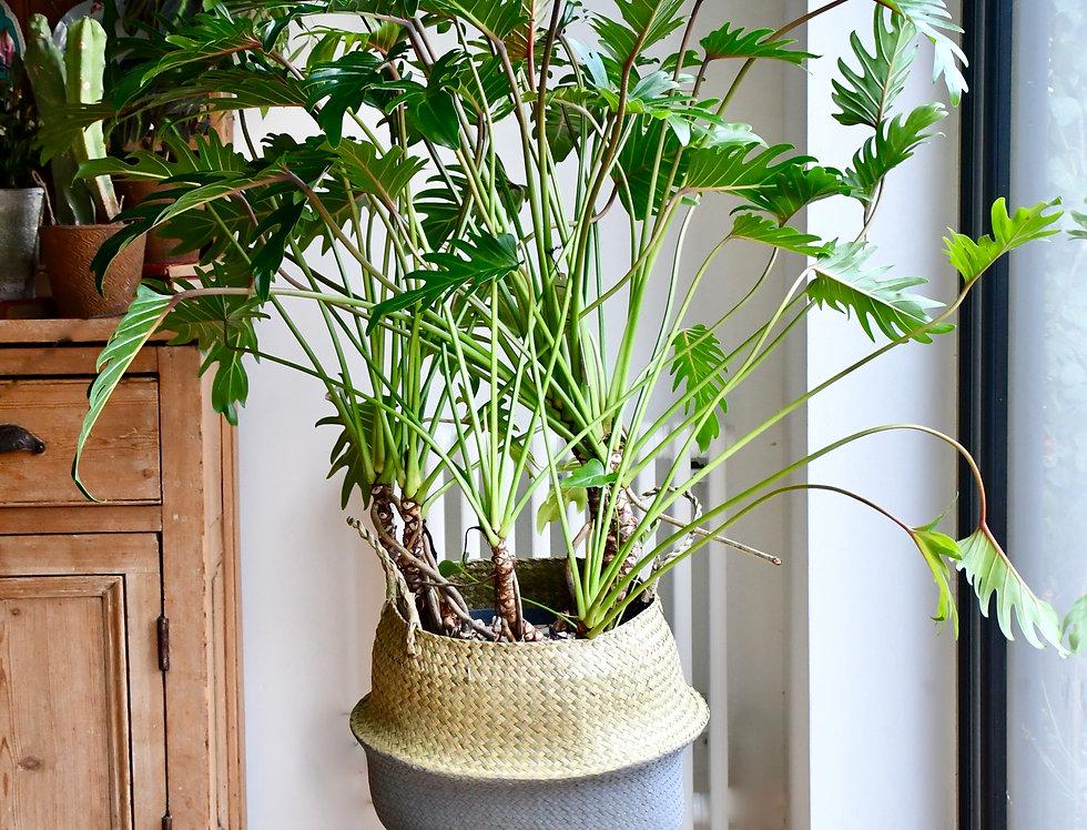 Philodendron xanadu 80cm tall, 24cm pot