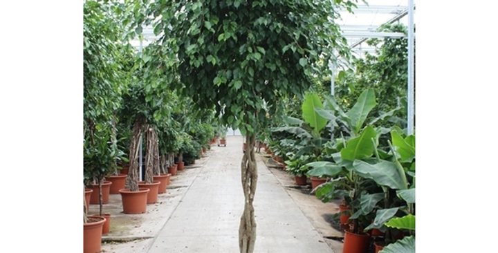 Ficus Exotica twisted stem 300cm, 60cm pot