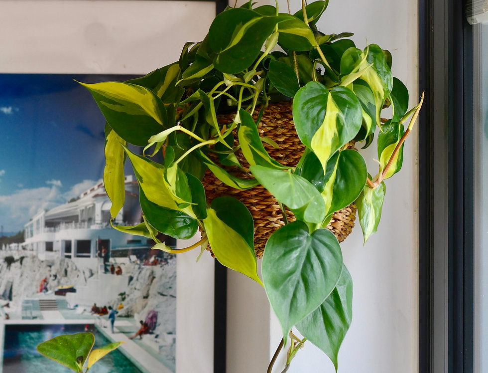 Hanging Philodendron Scandens Brasil