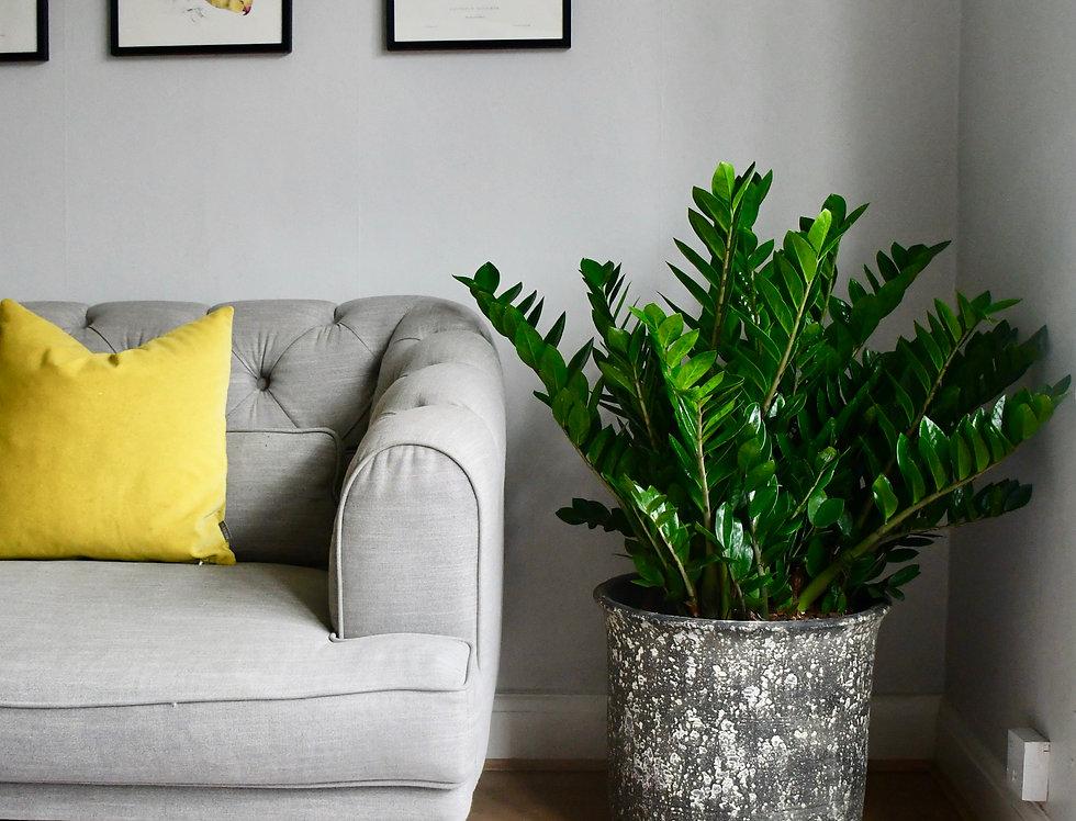 Zamioculcas Zamiifolia at home