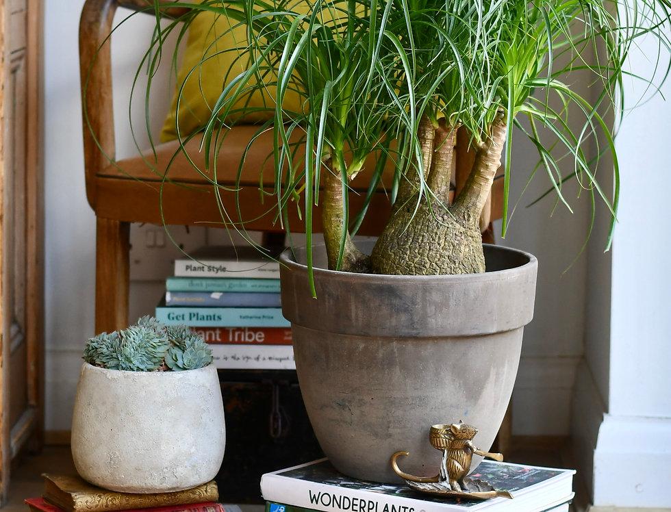 Nolina Recurvata - Ponytail Palm