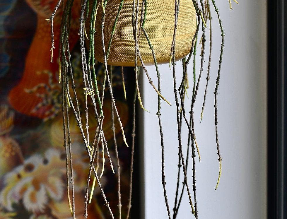 Cynanchum marnierianum *very rare*