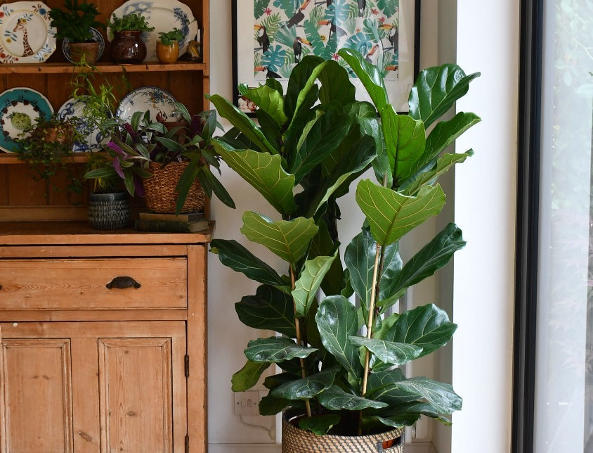 Fiddle Fig Bush - Ficus Lyrata 3 Stem