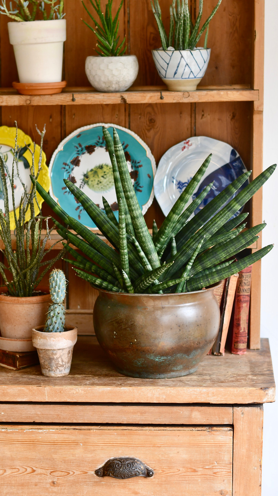 How to care for Sansevieria