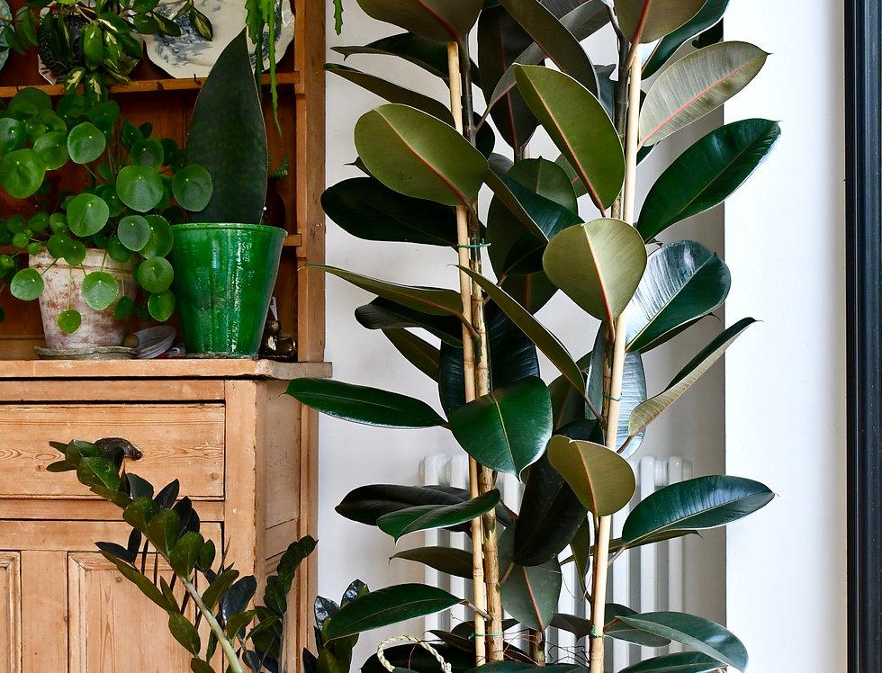 Rubber Plant, Ficus Elastica Abidjan