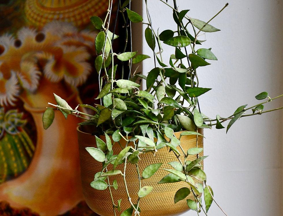 Hoya Lacunosa or 'Cinnamon Hoya'
