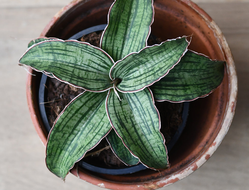 Sansevieria kirkii sp. Silver Blue