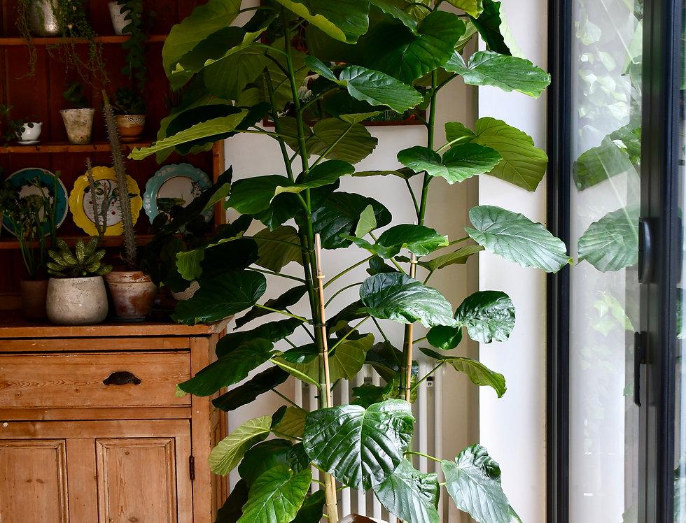 Large Ficus Umbellata
