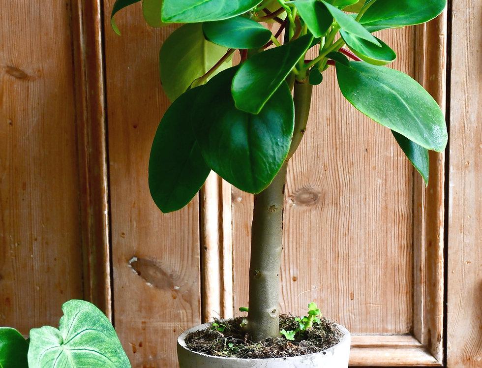 Peperomia Velvet tree