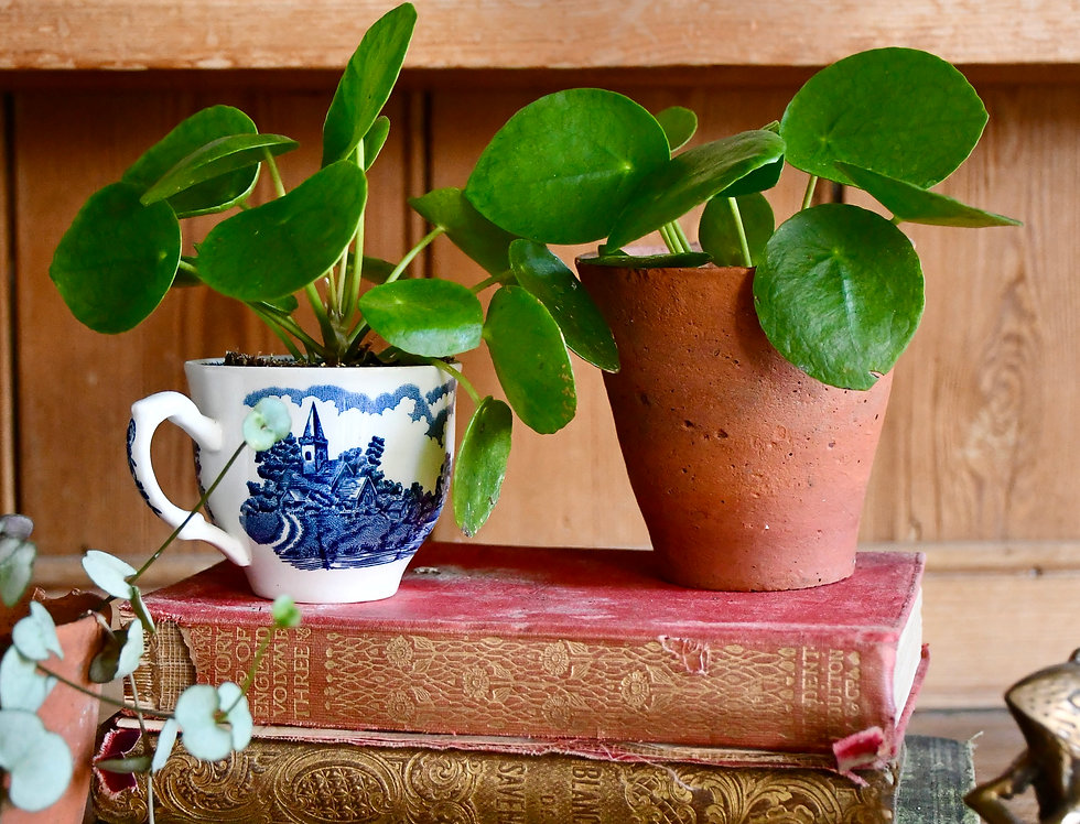 Baby Pilea Peperomioides - Chinese money plant