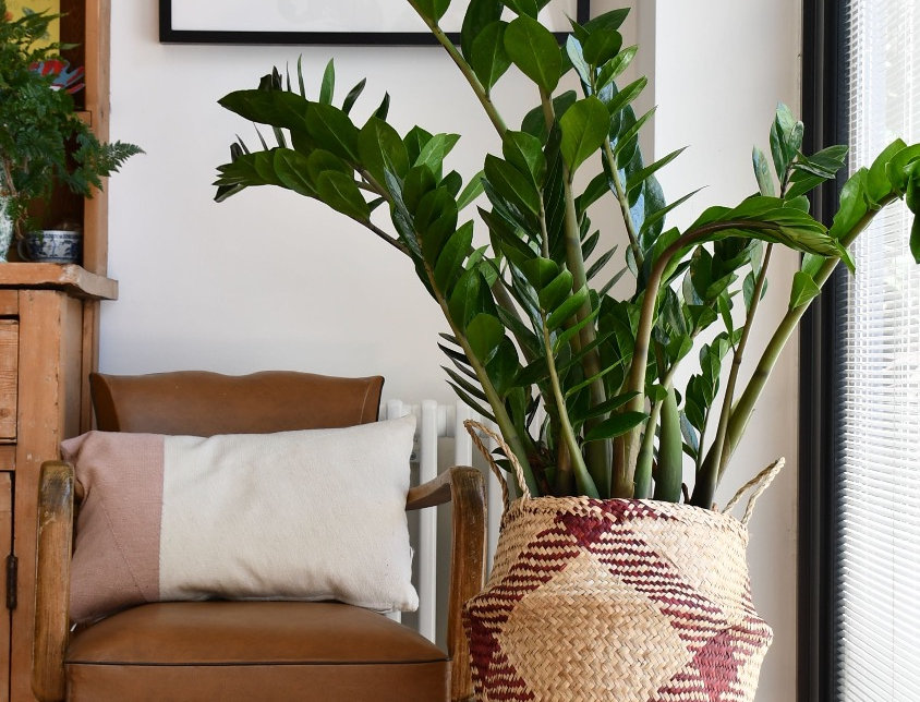 XL Zamioculcas Zamiifolia, happy house plants, indoor plants for sale, easy care, seagrass planter