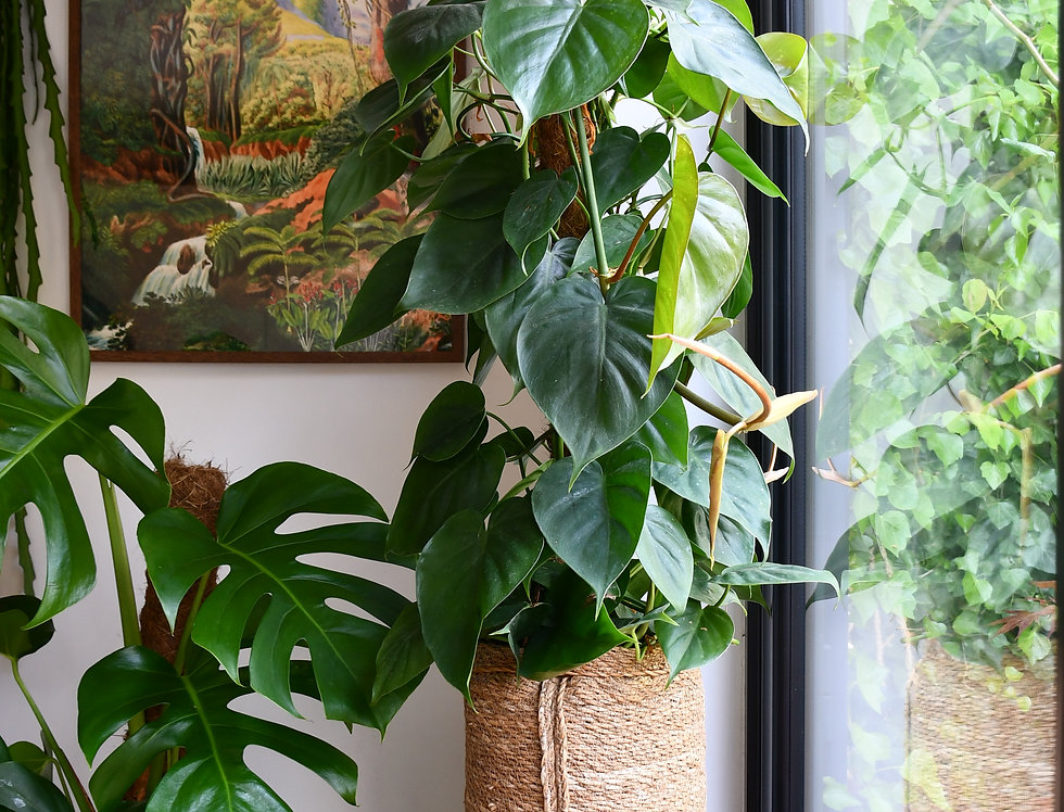 Sweet Heart Plant Philodendron Scandens 150cm