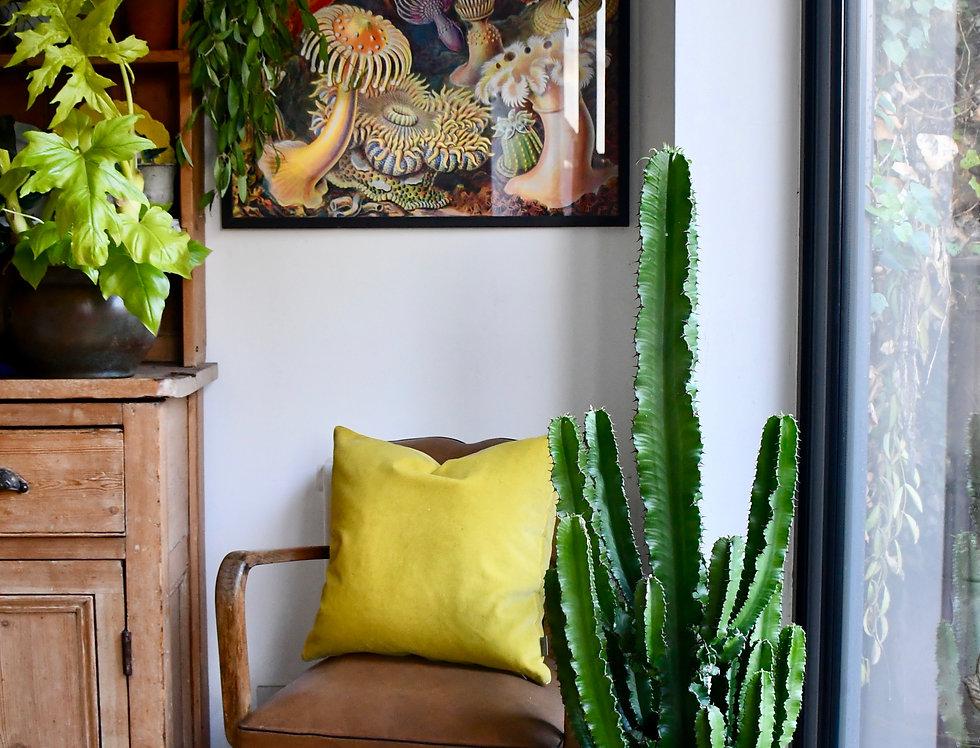 Large Euphorbia or Cowboy Cactus