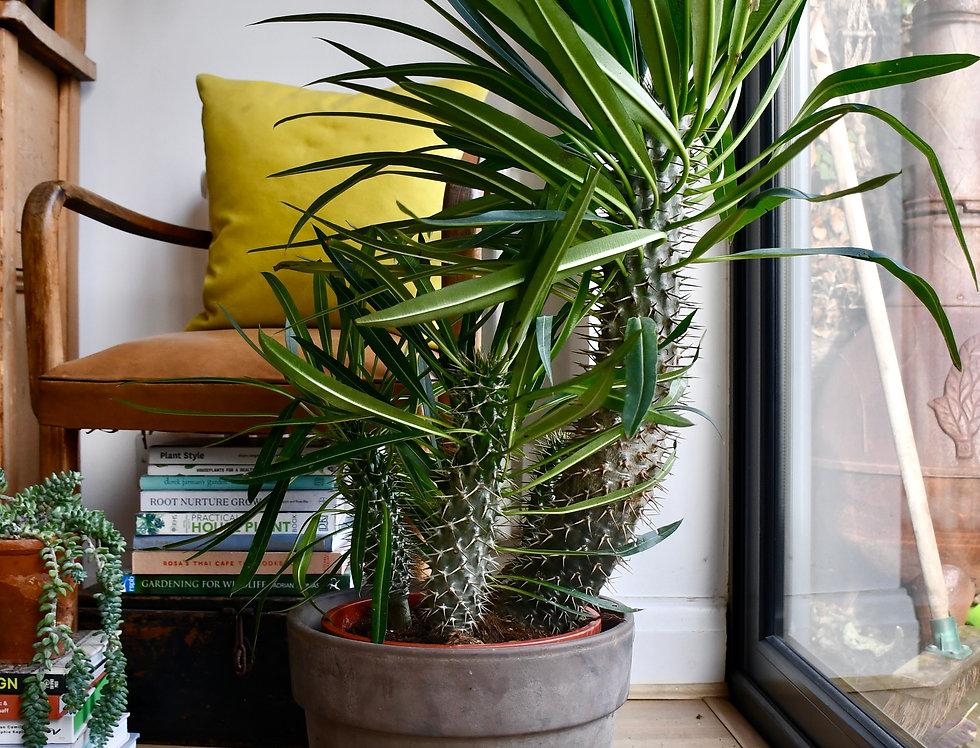 XL Pachypodium Lamerei Madagascar Palm