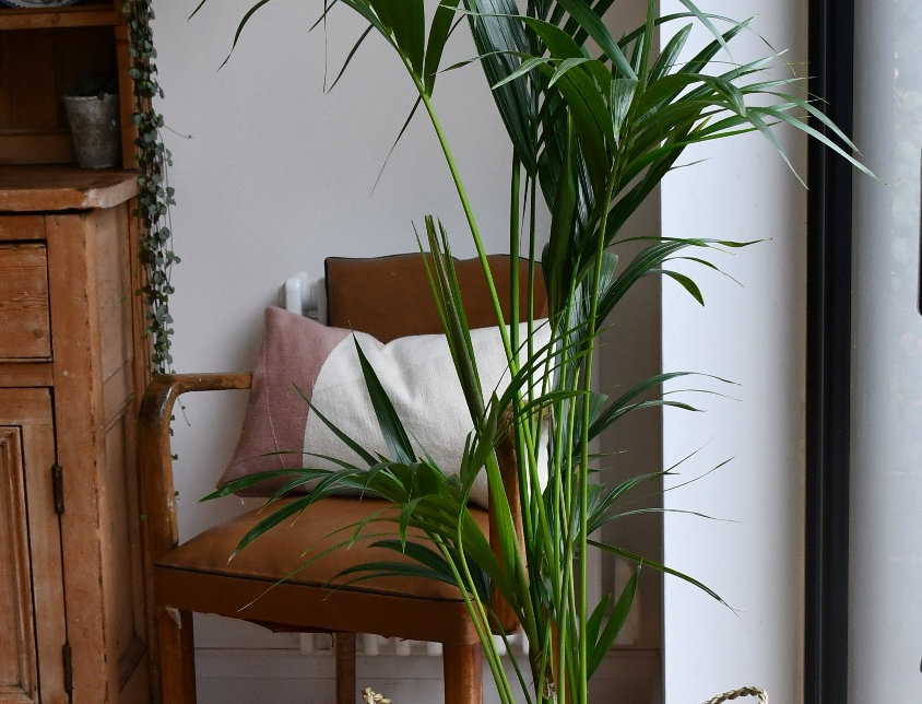 Kentia Palm - Howea Forsterian, happy house plants, indoor plants for sale, easy care, seagrass planter
