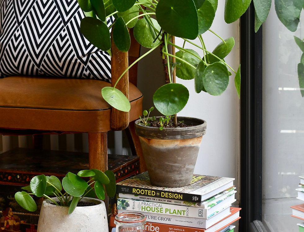 Potted Pilea peperomoides