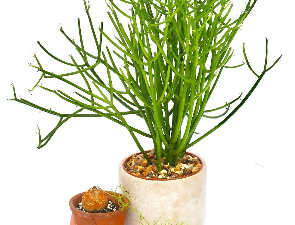 Euphorbia tirucalli - Pencil Cactus