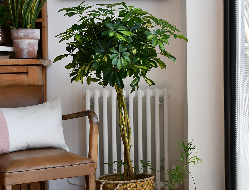 zoom umbrella plant schefflera arboricola with braided trunk in woven basket plant pot holder