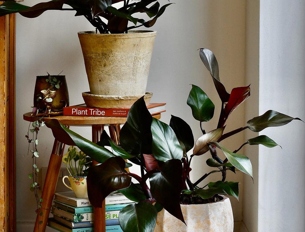 Philodendron 'Purple Congo' *rare*