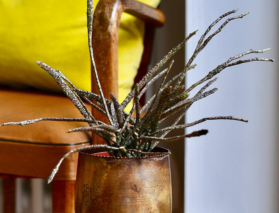 Euphorbia Platyclada  12cm X 20cm- The Dead Plant