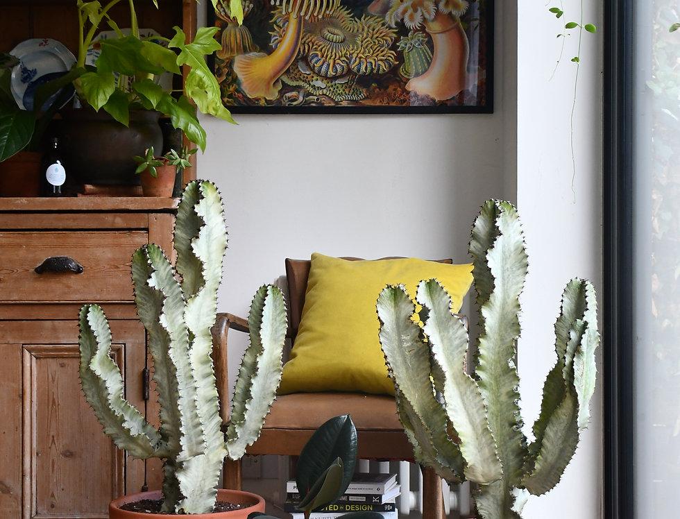 Euphorbia eritrea variegata - Ghost cactus