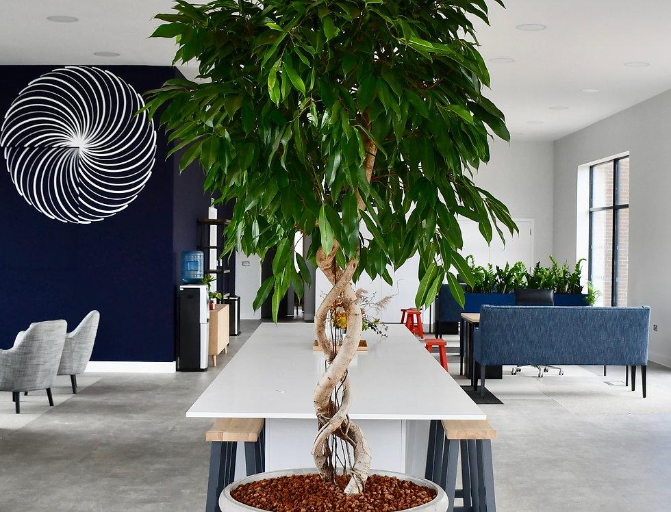 Ficus Amstel King 2.5m
