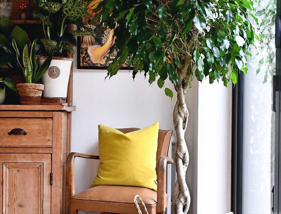 Weeping Fig Tree - Ficus Benjamina