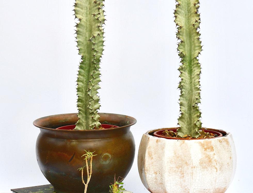 Medium Euphorbia Ingens Variegata - Ghost Euphorbia 50cm