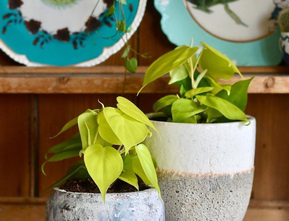 Philodendron Lemon Micans *rare*