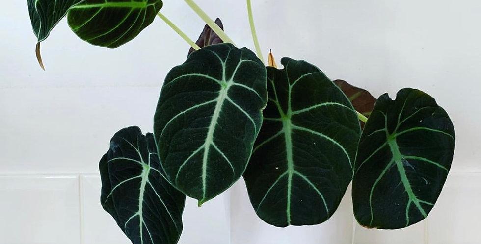 Alocasia black velvet 11cm pot, 28cm tall