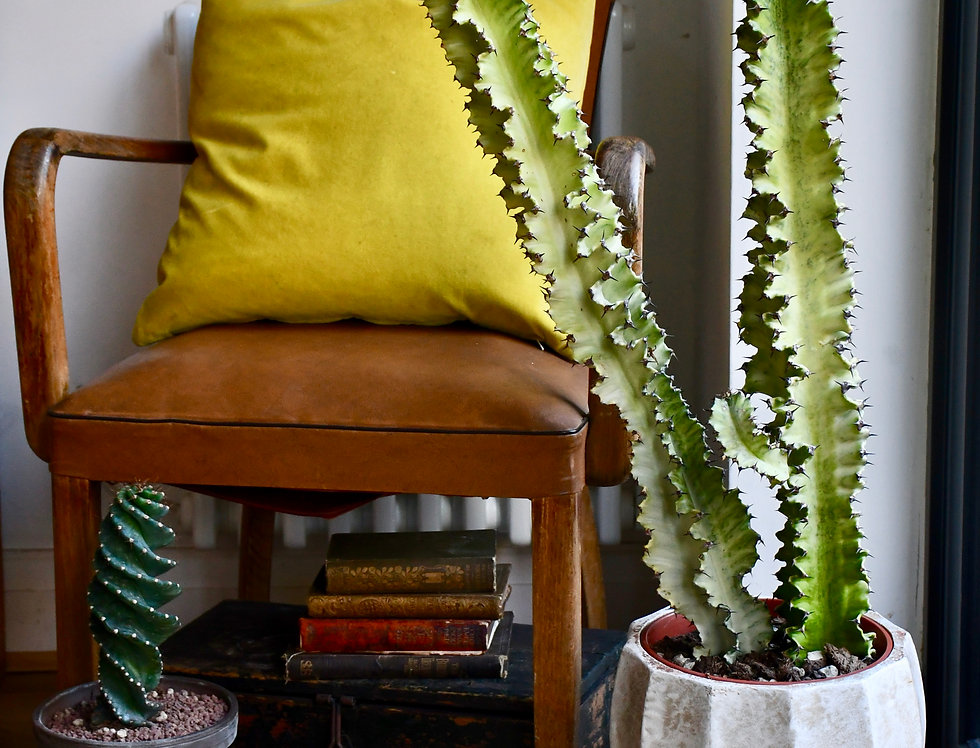 Euphorbia Ingens Variegata in planter