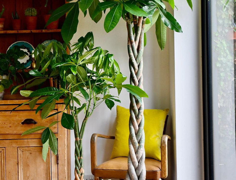 Mexican Fortune Tree or Pachira Aquatica