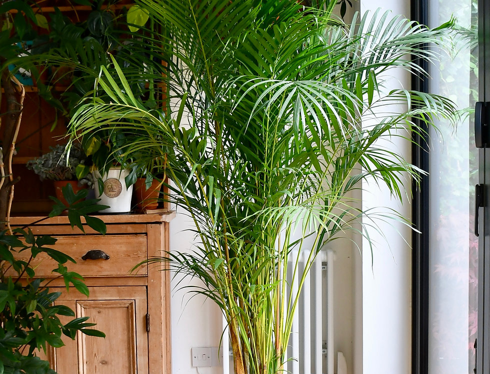 Dypsis Lutescen - Areca Palm
