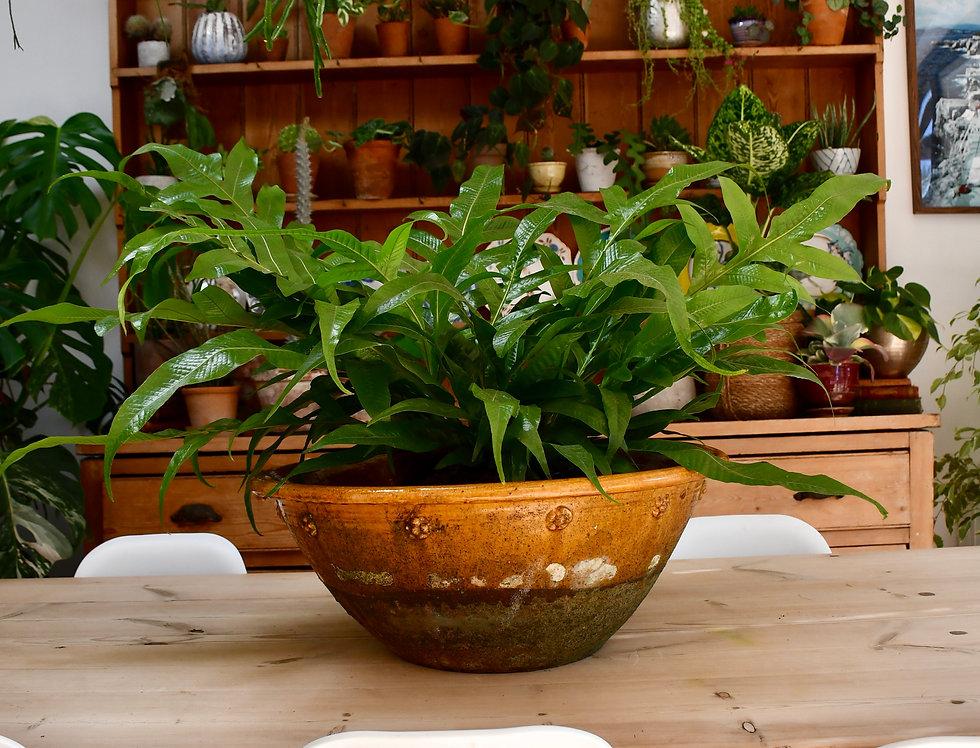Aglomorpha Coronans - basket fern 60cm tall, 24cm wide